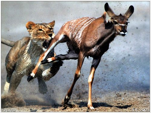 gazelle running from lion - photo #27